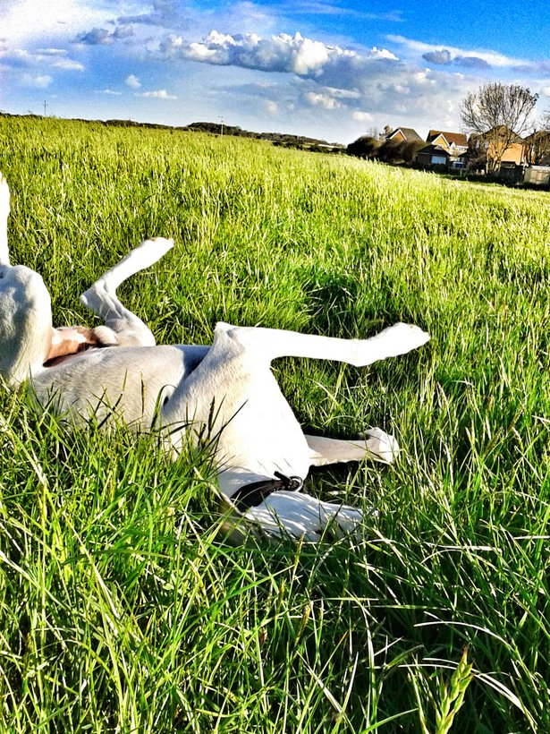 happy dog rolling in grass